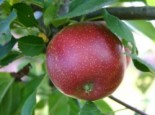 Malus 'Summerred'