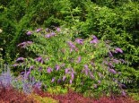 Sommerflieder / Schmetterlingsstrauch 'Camberwell Beauty' / 'Camkeep', 40-60 cm, Buddleja davidii 'Camberwell Beauty', Containerware