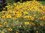 Sonnenauge 'Lorraine Sunshine', Heliopsis scabra 'Lorraine Sunshine', Topfware