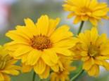 Sonnenauge 'Sommersonne', Heliopsis scabra 'Sommersonne', Topfware