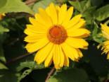Sonnenauge 'Spitzentänzerin', Heliopsis scabra 'Spitzentänzerin', Topfware
