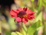 Sonnenbraut 'Ruby Charm', Helenium x cultorum 'Ruby Charm', Topfware