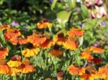 Sonnenbraut 'Sahin's Early Flowerer' ®, Helenium x cultorum 'Sahin's Early Flowerer' ®, Topfware