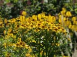 Sonnenbraut 'Sonnenwunder', Helenium x cultorum 'Sonnenwunder', Topfware