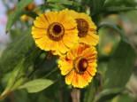 Sonnenbraut 'Zimbelstern', Helenium x cultorum 'Zimbelstern', Topfware