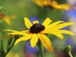 Rudbeckia fulgida 'Early Bird Gold' ®