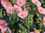 Sonnenröschen 'Lawrensons Pink', Helianthemum x cultorum 'Lawrensons Pink', Topfware