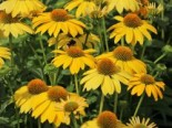 Sonnenscheinhut 'Lemon Yellow', Echinacea purpurea 'Sombrero Lemon Yellow', Topfware