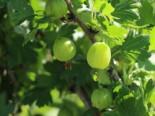 Stachelbeere 'Hinnonmäki grün', 20-30 cm, Ribes uva-crispa 'Hinnonmäki grün', Containerware