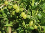 Stachelbeere 'Mucurines', 10-20 cm, Ribes uva-crispa 'Mucurines' (Hellgrün), Topfware