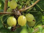 Stachelbeere 'Resistenta', Stamm 40-50 cm, 70-100 cm, Ribes uva-crispa 'Resistenta', Stämmchen