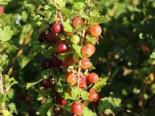 Stachelbeere 'Spinefree', Stamm 80-90 cm, 80-90 cm, Ribes uva-crispa 'Spinefree', Stämmchen