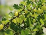 Stachelbeere 'Tatjana', 30-40 cm, Ribes uva-crispa 'Tatjana', Containerware