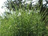 Stachelschweingras / Zebraschilf 'Strictus', Miscanthus sinensis 'Strictus', Containerware