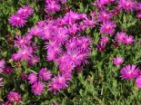 Stauden Mittagsblume, Delosperma cooperi, Topfware