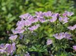 Storchschnabel 'Baker's Pink', Geranium sylvaticum 'Baker's Pink', Topfware