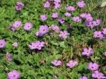 Geranium wallichianum 'Bloom Time' / 'Rozanne' ® (Rosa)