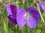 Storchschnabel 'Brookside', Geranium pratense 'Brookside', Topfware