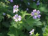 Storchschnabel 'Chantilly', Geranium gracile 'Chantilly', Topfware