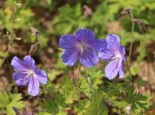 Geranium pratense 'Johnsons Blue'