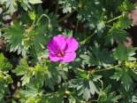 Storchschnabel 'Little David', Geranium psilostemon 'Little David', Topfware