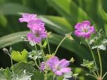 Storchschnabel 'Mavis Simpson', Geranium x riversleaianum 'Mavis Simpson', Topfware