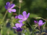 Storchschnabel 'Nimbus', Geranium collinum 'Nimbus', Topfware