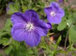 Wiesen-Storchschnabel 'Orion', Geranium pratense 'Orion', Topfware