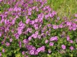 Storchschnabel 'Sirak', Geranium gracile 'Sirak', Topfware