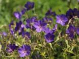 Storchschnabel 'Spinners', Geranium pratense 'Spinners', Topfware