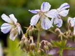 Storchschnabel 'Striatum', Geranium pratense 'Striatum', Topfware