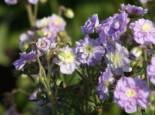 Storchschnabel 'Summer Skies', Geranium pratense 'Summer Skies', Topfware