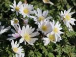 Strahlen-Windröschen 'White Splendour', Anemone blanda 'White Splendour', Topfware