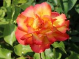 Strauchrose 'Bonanza' ®, Rosa 'Bonanza' ®, Wurzelware