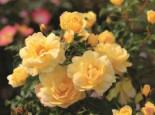 Strauchrose 'Candela' ®, Stamm 90 cm, Rosa 'Candela' ® ADR-Rose, Stämmchen