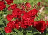 Strauchrose 'Castella' ®, Rosa 'Castella' ®, Containerware