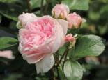 Strauchrose 'Cinderella' ®, Rosa 'Cinderella' ®, Containerware