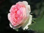 Strauchrose 'Eden Rose 85' ®, Rosa 'Eden Rose 85' ®, Containerware