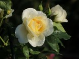 Strauchrose 'Friedenslicht' ®, Rosa 'Friedenslicht' ®, Containerware