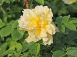 Strauchrose 'Gelbe Dagmar Hastrup' ®, Rosa rugosa 'Gelbe Dagmar Hastrup' ®, Topfware
