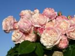 Strauchrose 'Herkules' ®, Rosa 'Herkules' ®, Containerware