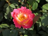 Rosa 'Herzogin Friederike' ®