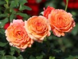 Strauchrose 'Lambada' ®, Rosa 'Lambada' ®, Wurzelware