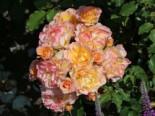 Strauchrose 'LandLust' ®, Rosa 'LandLust' ®, Wurzelware