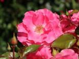 Strauchrose 'Romanze' ®, Rosa 'Romanze' ®, Containerware