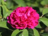 Strauchrose 'Rose de Resht', Rosa 'Rose de Resht', Containerware