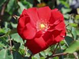 Strauchrose 'Roter Korsar' ®, Rosa 'Roter Korsar' ® ADR-Rose, Wurzelware