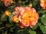 Strauchrose 'Sahara' ®, Rosa 'Sahara' ®, Wurzelware