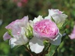 Strauchrose 'Saphir' ®, Rosa 'Saphir' ®, Wurzelware