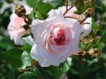 Strauchrose 'Schloss Eutin' ®, Rosa 'Schloss Eutin' ®, Wurzelware